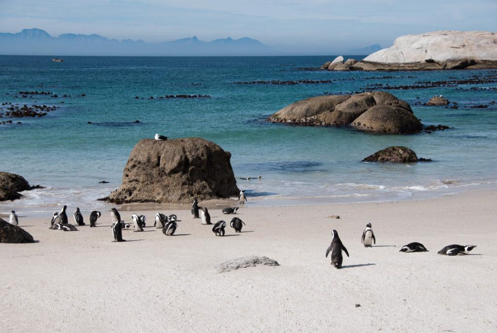 Photo of African penguins by Stephen Coetzee
